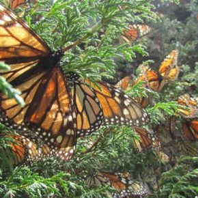 """A Curious Migration"": on human virtue and the precarious survival of the monarch butterfly. An essay by Mary Quade."